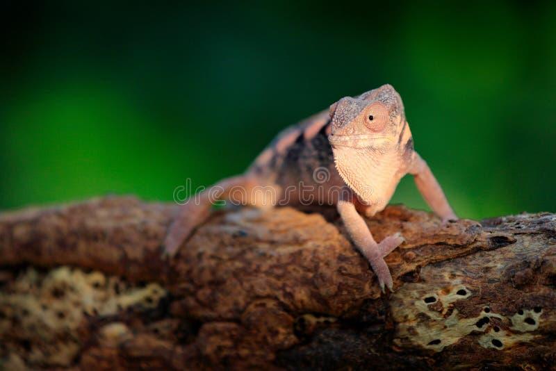 Pardalis de Furcifer, camaleão da pantera que senta-se no ramo no habitat da floresta Réptil verde endêmico bonito exótico com TA imagem de stock
