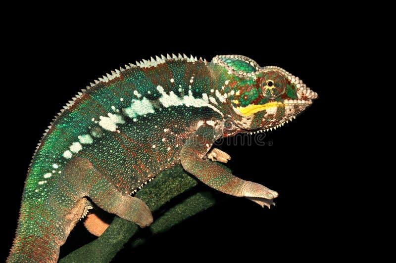 Pardalis de Furcifer (Chameleon da pantera) fotografia de stock royalty free