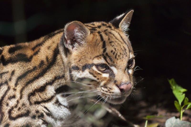 Pardalis de Leopardus do ocelote imagem de stock royalty free