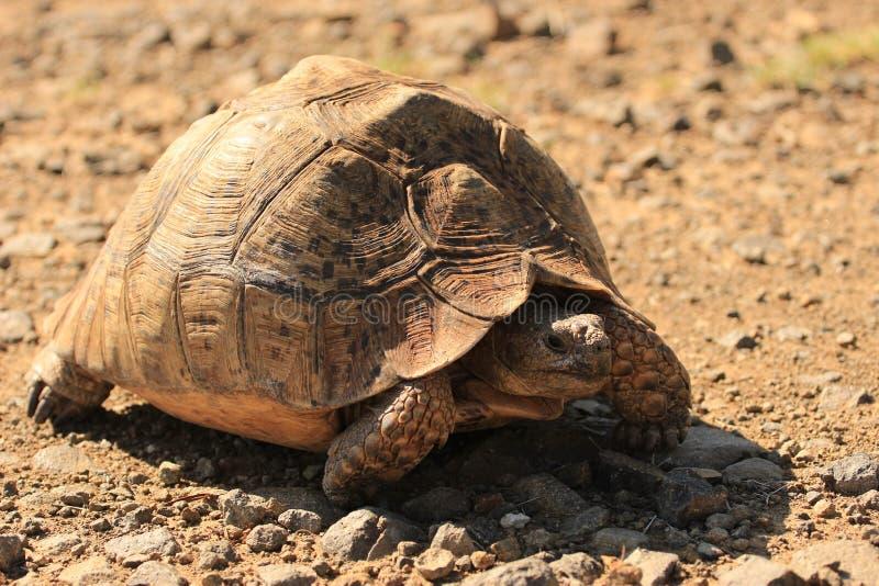 Pardalis de Stigmochelys, tortuga del leopardo, tortuga de la montaña foto de archivo libre de regalías