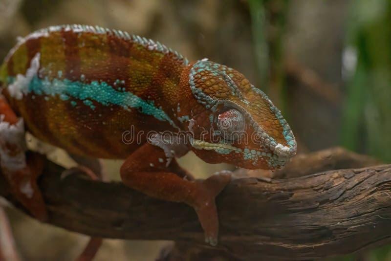 Pardalis di Furcifer del camaleonte della pantera, fauna del Madagascar fotografia stock