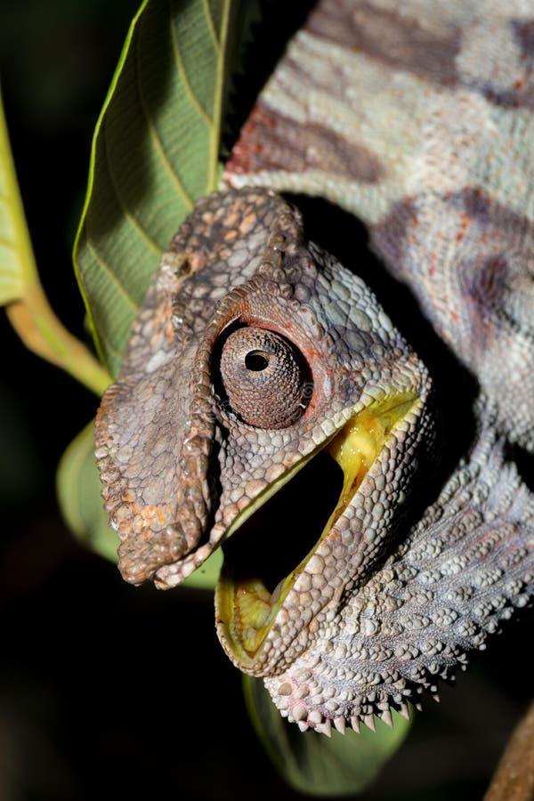Pardalis enojados de Furcifer del camaleón de la pantera foto de archivo