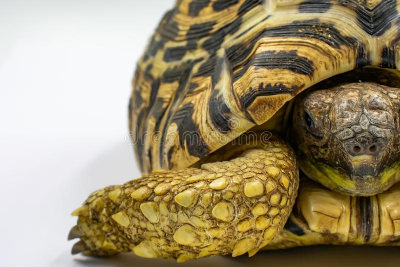 Pardalis juveniles de Stigmochelys de la tortuga del leopardo en el fondo blanco fotografía de archivo libre de regalías