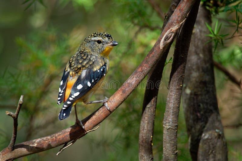 Pardalote macchiato - uccello australiano di punctatus di Pardalotus il piccolo, bello colora, nella foresta in Australia, la Tas fotografie stock
