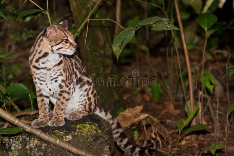 Pardelkatze im Dschungel lizenzfreies stockfoto