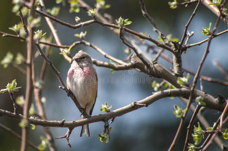 Pardillo del pájaro en el árbol Apple imagenes de archivo