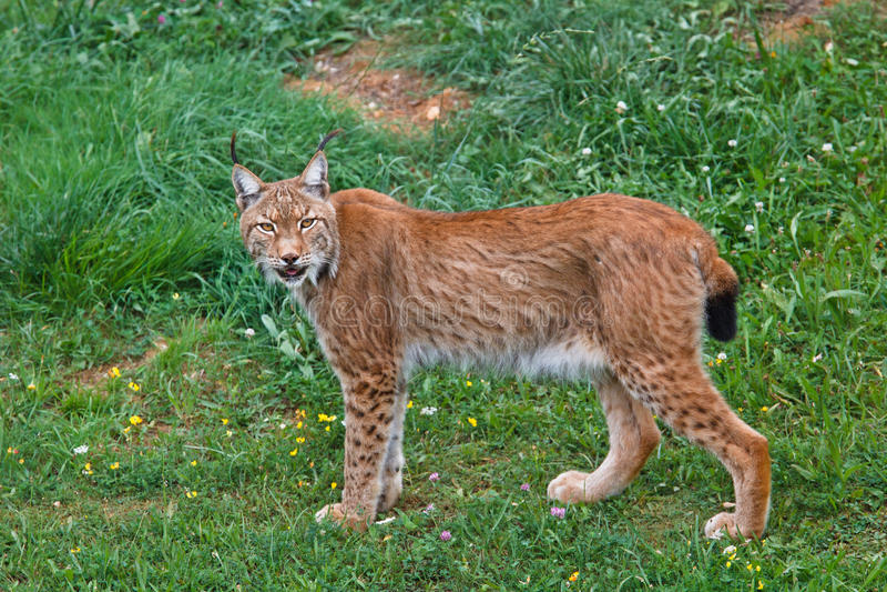 Pardinus van de lynx royalty-vrije stock fotografie