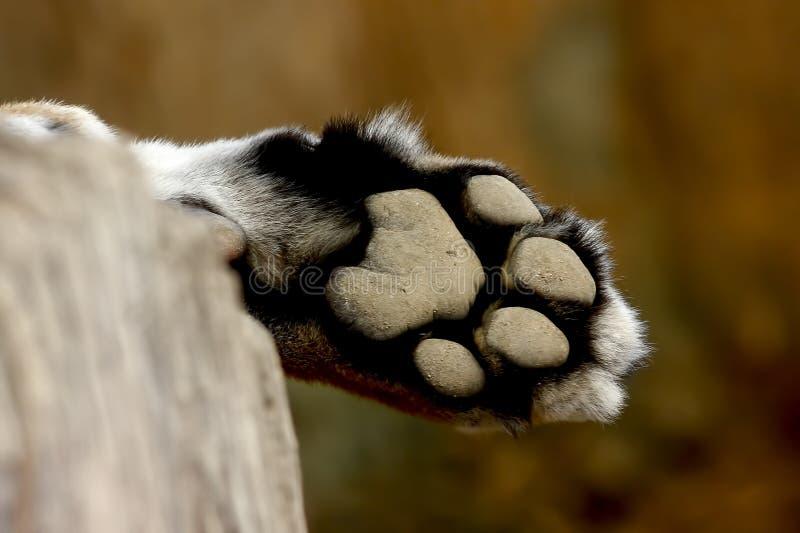 Pardus del Panthera de la pantera del pie del leopardo imagenes de archivo