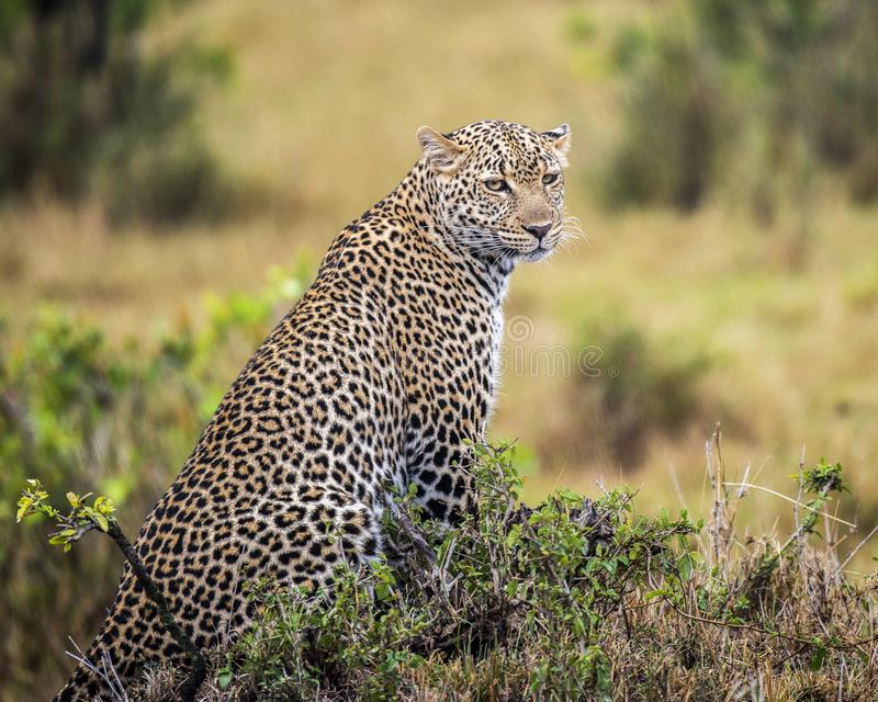 Pardus do Panthera - leopardo masculino novo foto de stock