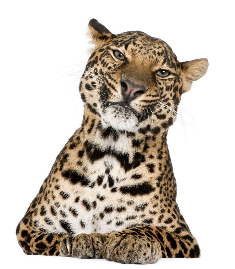 pardus panthera леопарда лежа стоковое фото