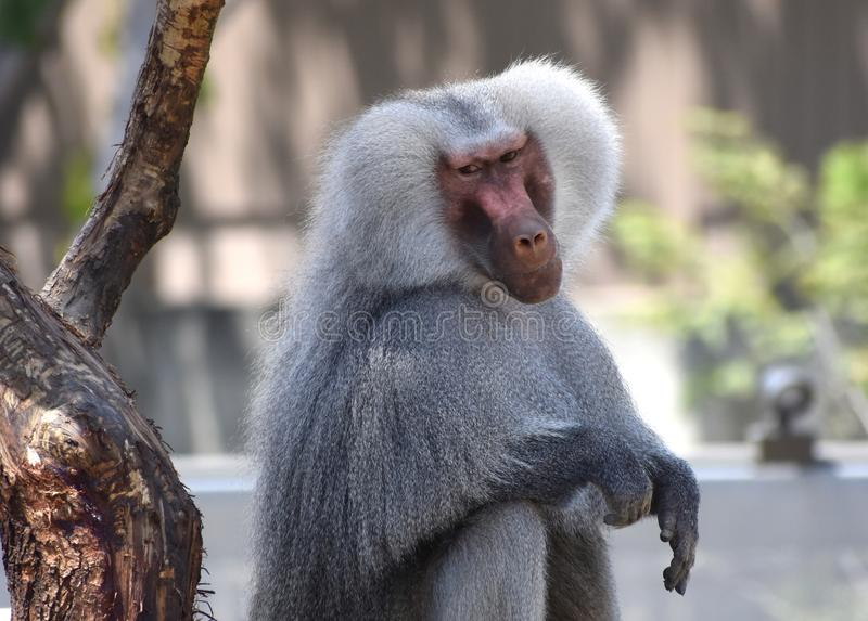 Pare el Monkeying alrededor imagen de archivo libre de regalías