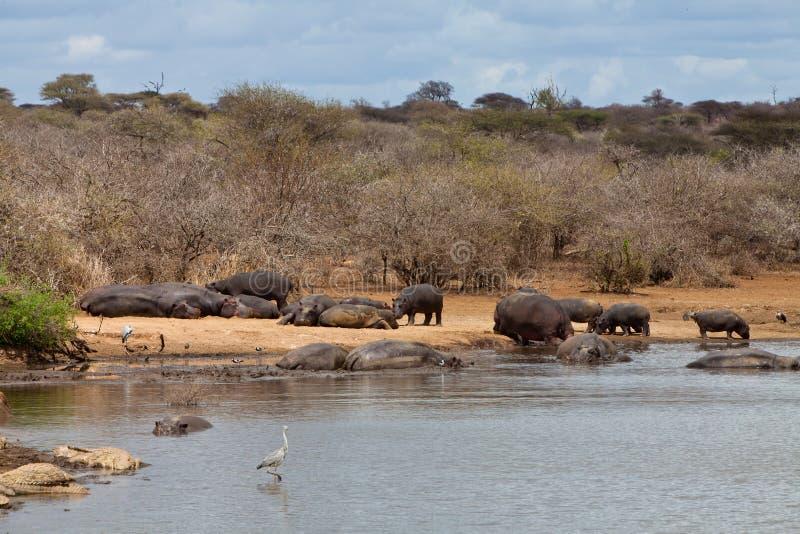Parecchi animali dell'ippopotamo che nuotano nell'acqua fotografia stock