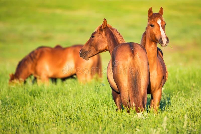 Parecchi bei cavalli selvaggii che pascono sul prato di estate fotografia stock libera da diritti