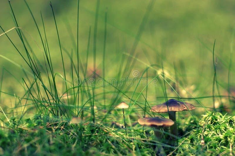 Parecchi funghi tossici favolosi dei funghi con i cappelli marroni nascosti nell'erba e nel muschio fotografia stock
