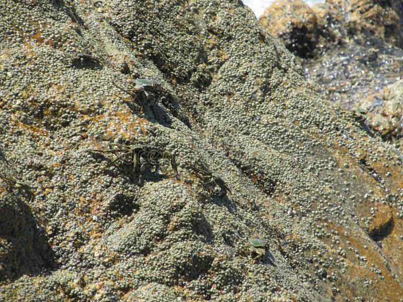Parecchi granchi di marmo che strisciano sulla roccia sulla spiaggia un chiaro giorno soleggiato che imita il colore delle pietre fotografie stock libere da diritti