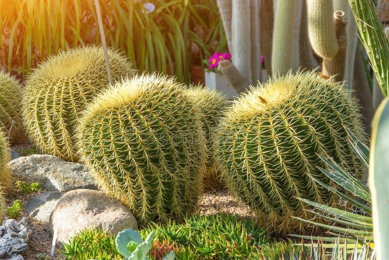 Parecchi grandi cactus rotondi nella serra fotografie stock