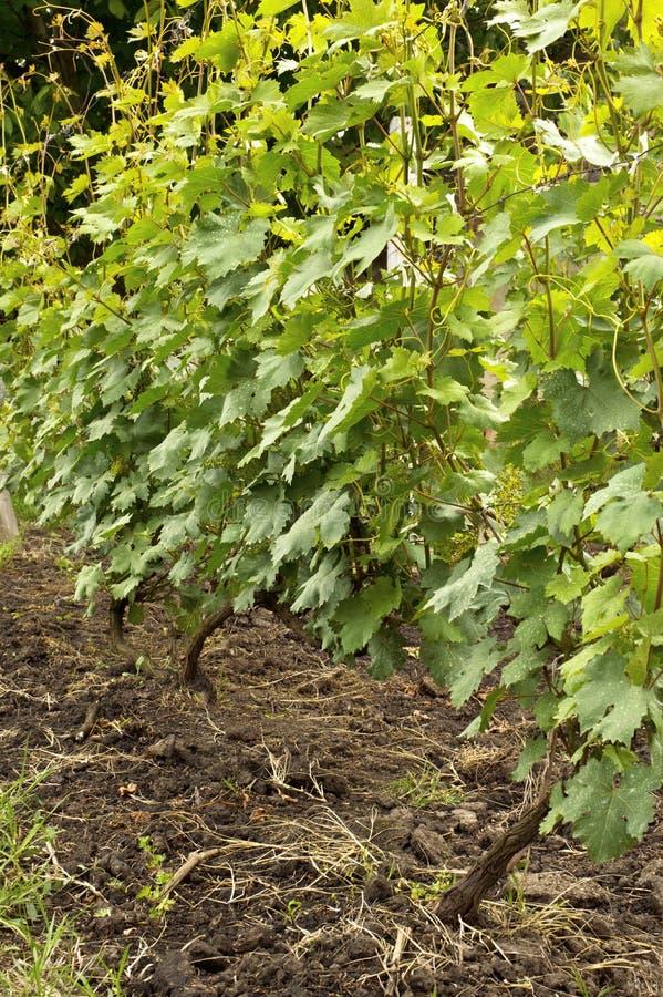 Parecchi mazzi di giovane uva non matura. immagini stock libere da diritti