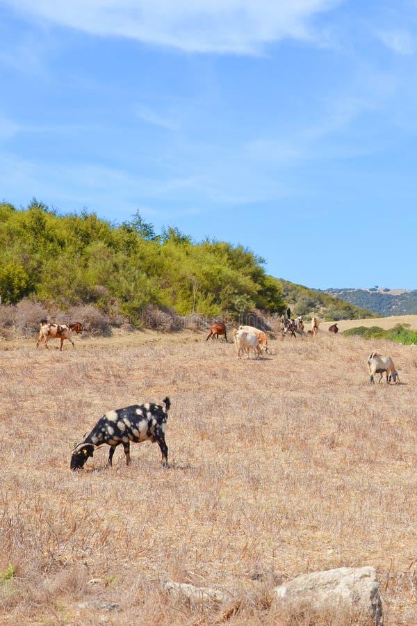 Parecchie capre che pascono su un campo secco in penisola a distanza di Karpas, zona turca del Cipro immagine stock