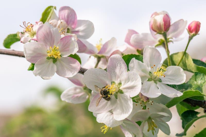 Parecchie fioriture piacevoli su di melo con l'ape mellifica su uno di loro fotografia stock libera da diritti