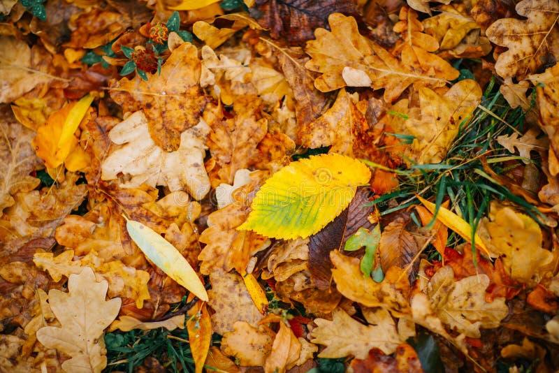 Parecchie grandi foglie sui precedenti con il fogliame variopinto recente di autunno fotografie stock libere da diritti