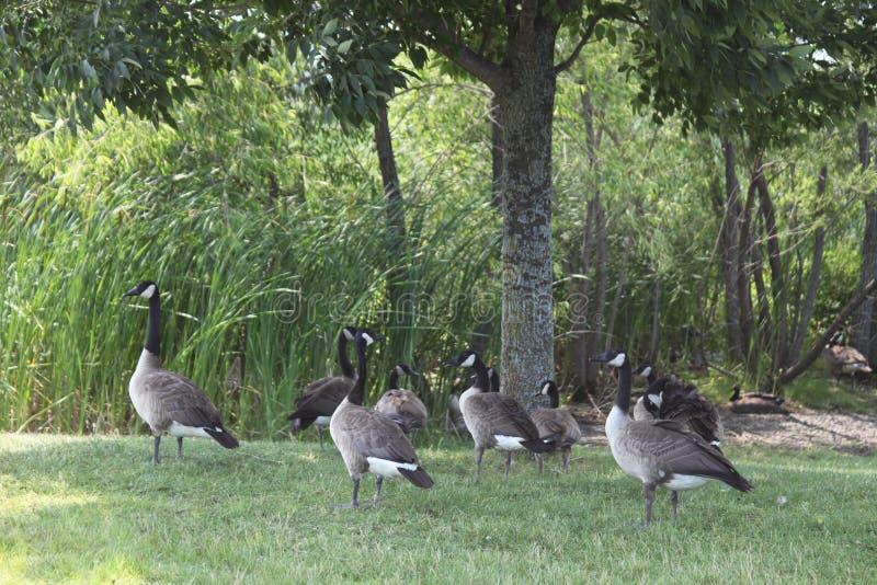 Parecchie oche un giorno di estate sull'erba fotografia stock
