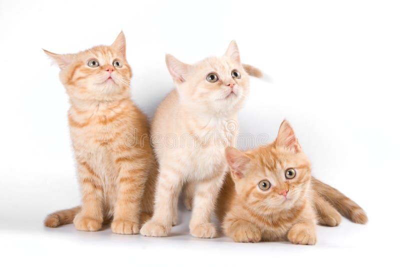 Parecchio gattino a strisce rosso fotografie stock