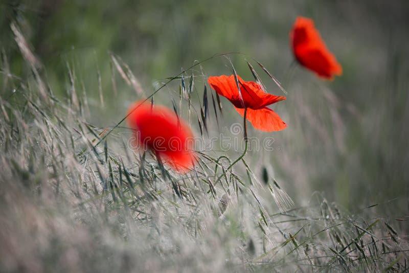 Parecchio Poppy On rossa selvaggia un giacimento di grano verde in gocce di rugiada fotografia stock