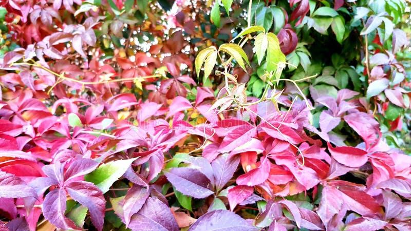 Pared colorida del quinquefolia salvaje del Parthenocissus de las uvas fotos de archivo