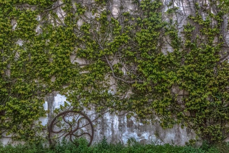 Pared con la planta que sube con follaje denso y la rueda vieja del hierro fotografía de archivo libre de regalías