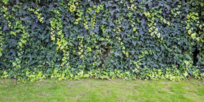 Pared cubierta con las hojas del verde y del amarillo de la uva salvaje Fondo natural imagen de archivo