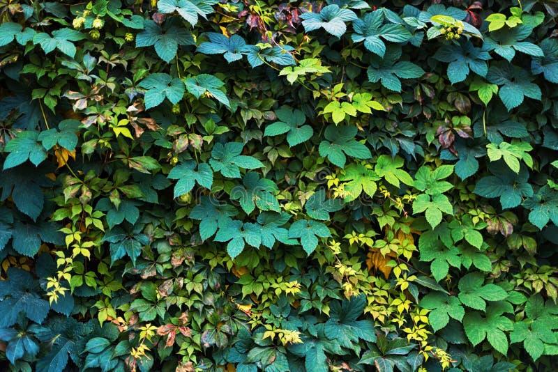 Pared cubierta con las hojas del verde y del amarillo de la uva salvaje Fondo natural imagenes de archivo