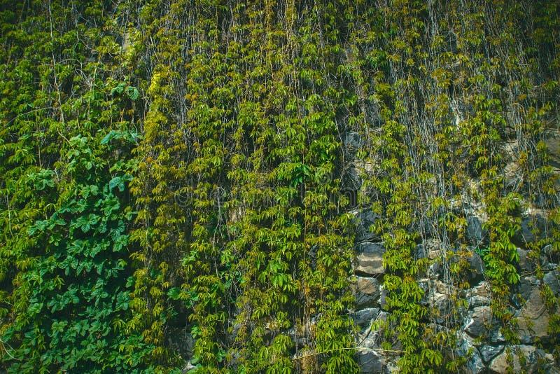 Pared cubierta con las hojas verdes de la uva salvaje Fondo natural foto de archivo libre de regalías