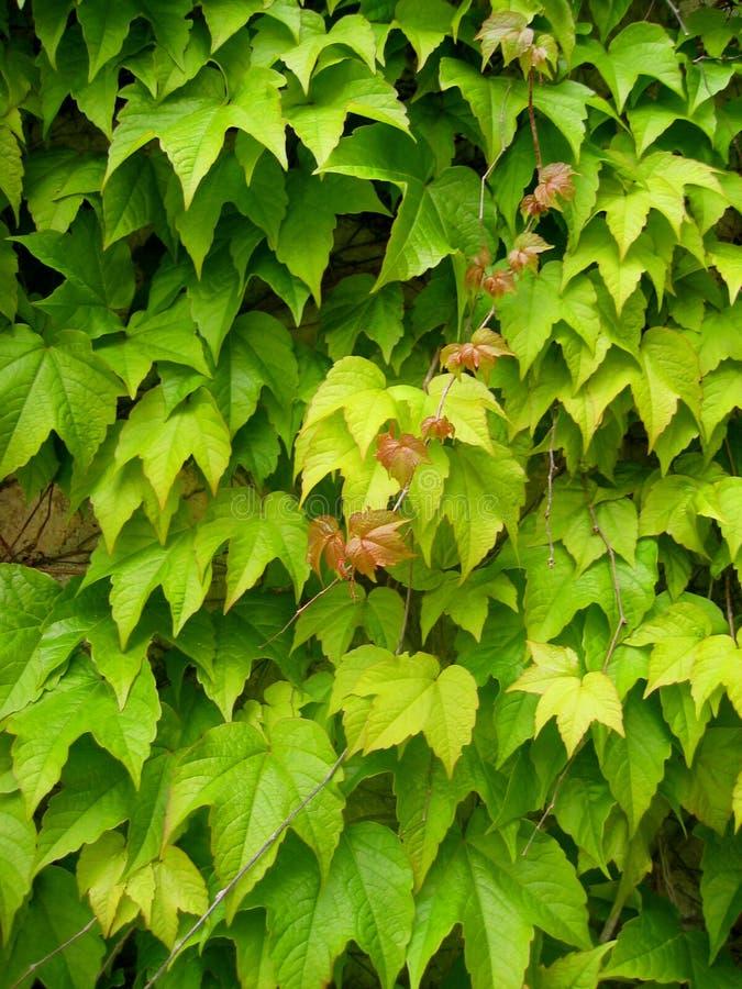 Pared de hojas imagen de archivo