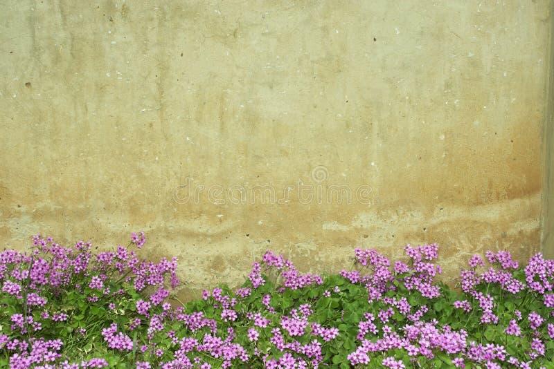 Pared de la flor de Oxalis imágenes de archivo libres de regalías