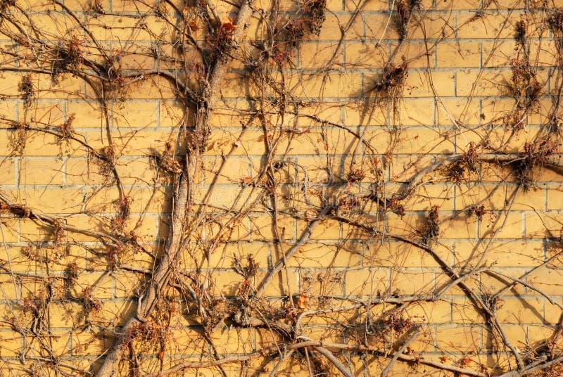Pared de ladrillo anaranjada abstracta cubierta por la hiedra fotografía de archivo libre de regalías