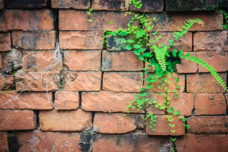 Pared de ladrillo vieja de la ruina cubierta con el musgo verde y la pequeña hierba Pared de ladrillo vieja del santuario del khm fotografía de archivo libre de regalías
