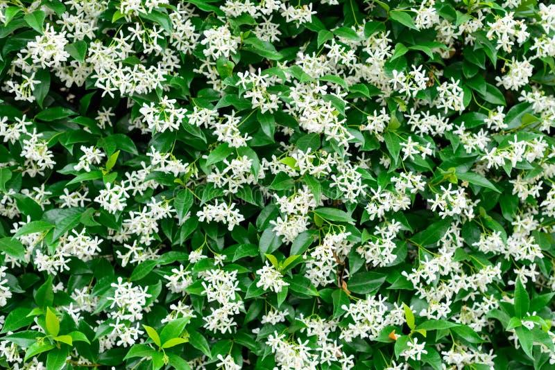 Pared de los jasminoides chinos del Trachelospermum de las flores del jazmín de estrella en la floración imágenes de archivo libres de regalías