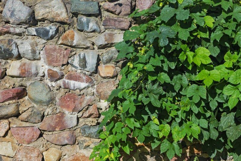 Pared de piedra medieval y seto verde foto de archivo