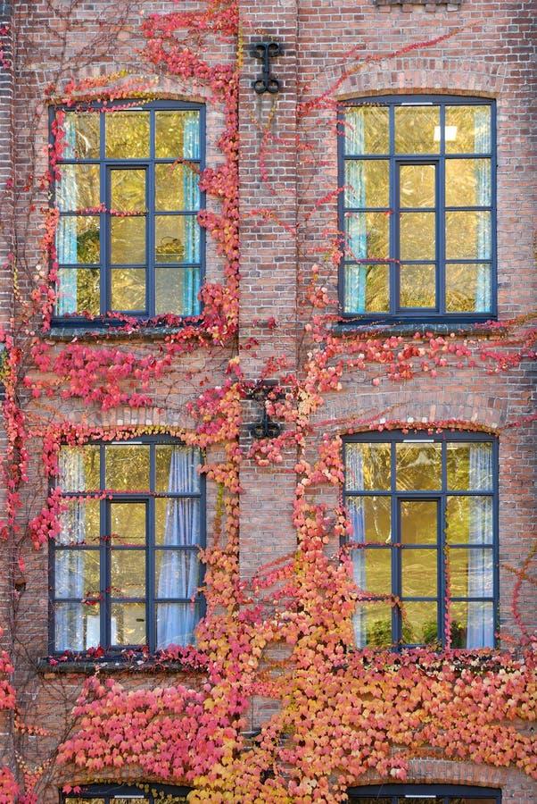 Pared, hiedra y Windows foto de archivo