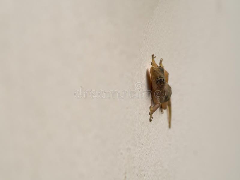Pared-lagarto encaramado en la pared fotografía de archivo