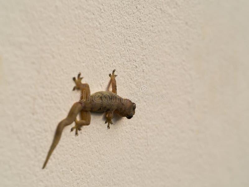 Pared-lagarto encaramado en la pared fotos de archivo