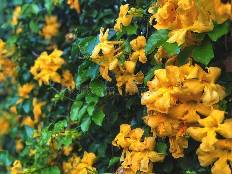 Pared natural hermosa Fondo de las hojas del verde y de las flores del amarillo, imágenes de archivo libres de regalías