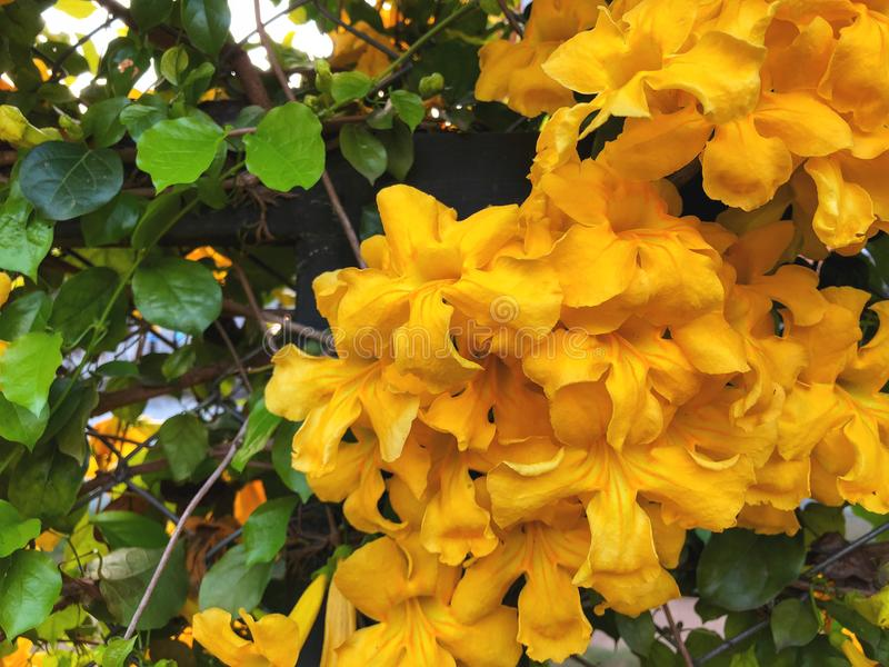Pared natural hermosa Hojas del verde y flores amarillas fotos de archivo libres de regalías
