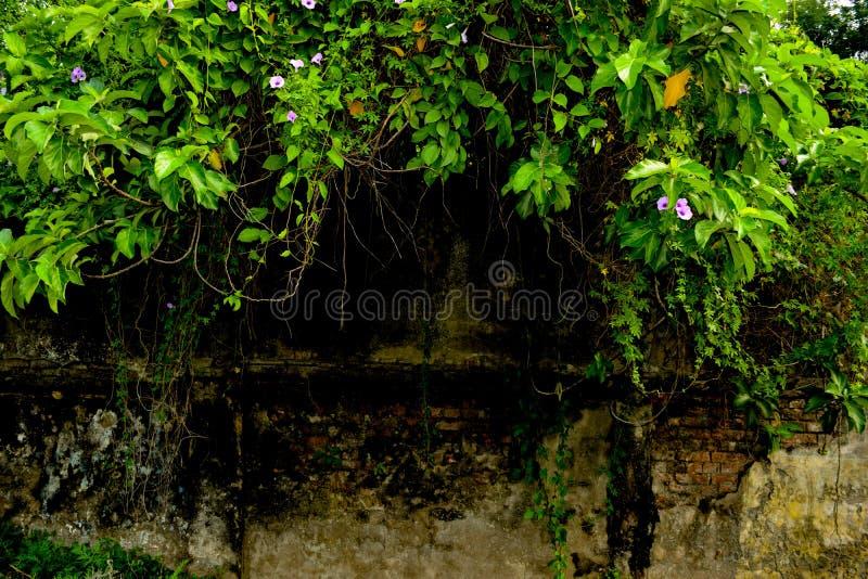 Pared oscura vieja cubierta por los arbustos y la hiedra como fondo foto de archivo libre de regalías