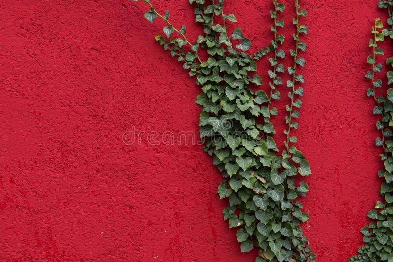 Pared roja con las hojas verdes como fondo, textura Planta verde de la hiedra contra superficie roja Contraste rojo y verde fotografía de archivo