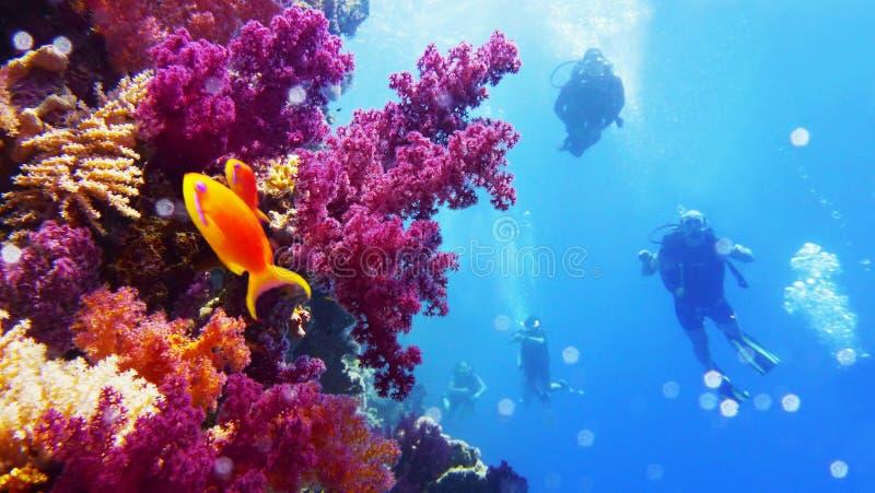 Pared subacuática con crecimiento coralino suave púrpura del alcance, buceadores en el fondo fotos de archivo