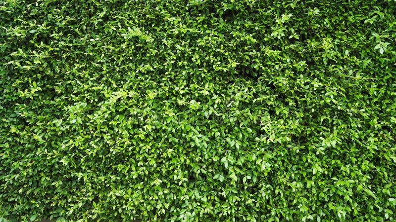 Pared verde de la planta de la hoja fotografía de archivo libre de regalías