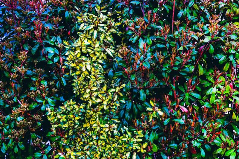 Pared verde natural de la hoja Flores verdes coloridos del seto en primavera Modelo del fondo de la textura imagen de archivo