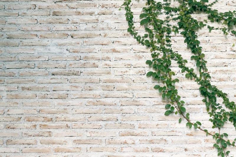 A parede é feita do tijolo e pintada então no branco Há trepadeiras na parede esquerda Esta parede é popular no estilo inglês A imagem de stock