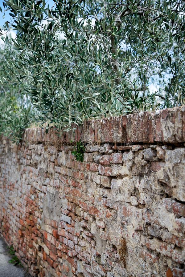 Parede antiga de Tuscan com lado de Olive Tree Branches Hanging Over imagens de stock royalty free